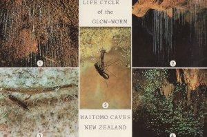 Waimoto Caves Life Cycle Of The Glowworm New Zealand Postcard