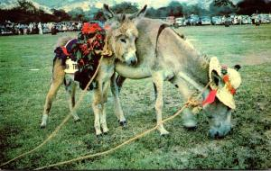 St Croix Donkey & Foal Costumed For The Donkey Races Held Annually By St Croi...