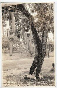 RP: COCOANUT GROVE , Florida, 30-40s; Sausage Tree (Kigelia Pinnata)