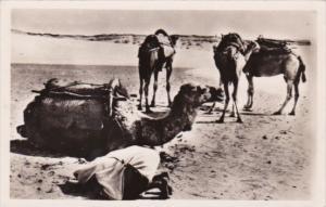 Camels In The Desert La Priere dans le desert Casablanca 1953 Real Photo