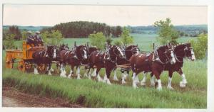 P1187 vintage postcard unused united framers of alberta canada heavy horse hitch