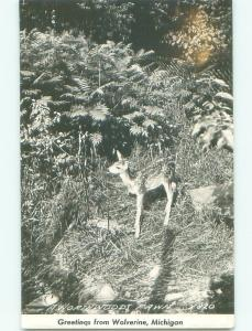 old rppc BABY DEER Wolverine - Near Gaylord & Petoskey & Indian River MI i6975