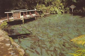New Zealand Rainbow trout Rainbow Pool Rainbow Springs Rotorua