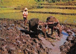 Indonesia Ploughing The Field