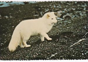 Alaskan Arctic Fox