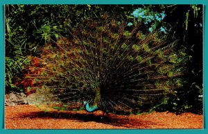 Florida - Green Peacock At Parrot Jungle - [FL-832]