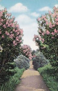 The Garden When Crepe Myrtle Is In Blossom At The Hermitage Nashville Tennessee