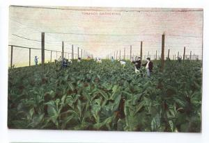 Cuba Tobacco Gathering Shade Cloth ca 1910