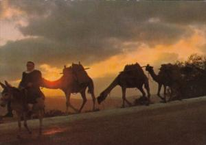 Israel Camels Caravan At Sunrise