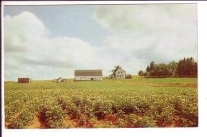 Potato Field in Full Bloom, Fram House, Barn, Prince Edward Island, Canada