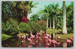 Florida~Sarasota Jungle Gardens Showing Flamingos~Standard Chrome Postcard