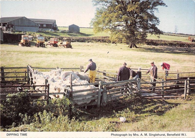 B100635 dipping time types folklore sheep mouton    uk