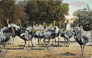 Los Angeles California 1909 Postcard Cawston Ostrich Farm Fighting Ostriches