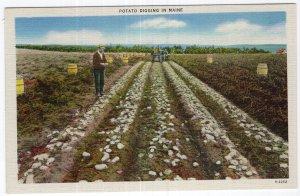 Potato Digging In Maine