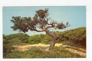 The Outer Banks of North Carolina, Wind Swept Cedar, North Carolina, 40-60s