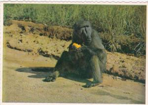 South Africa Time For A Snack Baboon At The Roadside