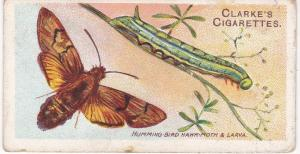 Cigarette Card Wm Clarke & Son BUTTERFLIES & MOTHS No 42 Humming Bird Hawk-Moth