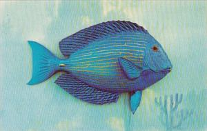 Florida Native Fish Blue Tang Coral Reefs