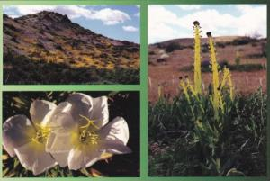 Cactus and Primrose Mojave Desert Barstow California