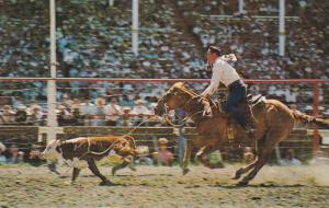 Calf Roping , Stampede Rodeo , CALGARY , Alberta , Canada , 40-60s