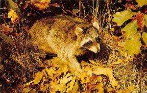 Raccoon Raccoons Boothbay Harbor, Maine, USA Unused