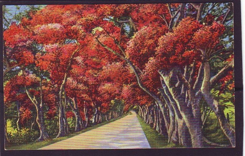 P1408 vintage unused beautiful flamboyants trees lining military rd puerto rico