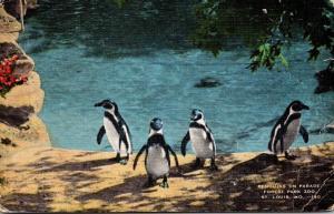 Missouri St Louis Forest Park Zoo Penguins On Parade