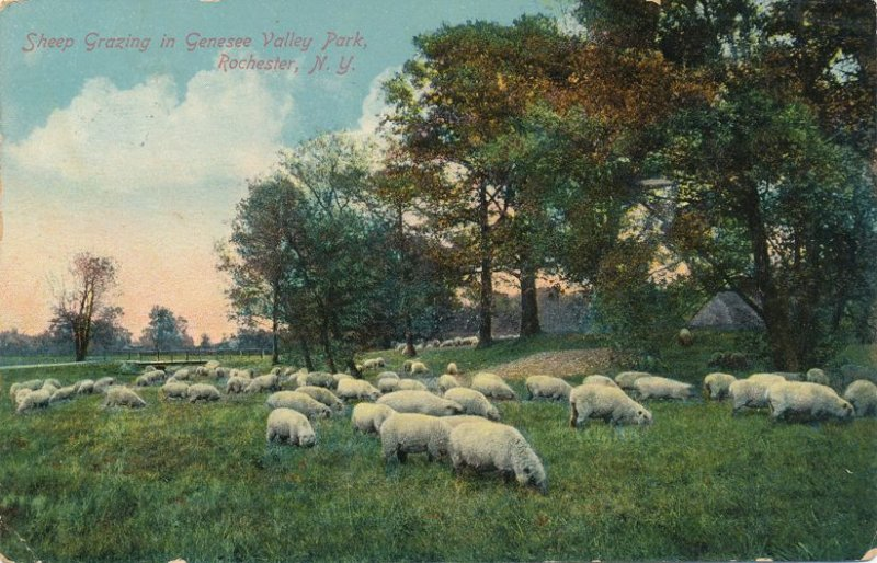Rochester, New York - Sheep Grazing in Genesee Valley Park - pm 1910 - DB