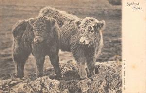BR64013 highland calves scotland