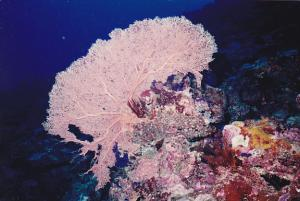 Micronesia Pohnpei Underwater Scene With Beautiful Coral