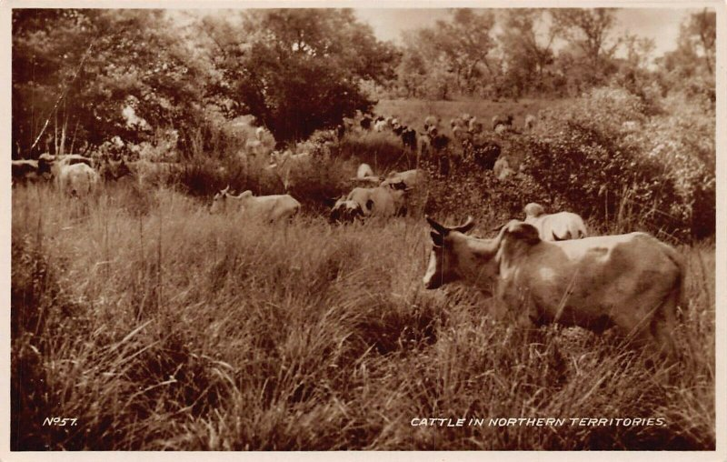 Ghana Gold Coast Cattle in Northern Territories RP Postcard