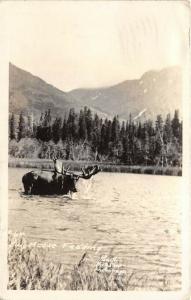 Anchorage Alaska 1939 RPPC Real Photo Postcard Bull Moose Feeding by Hewitt