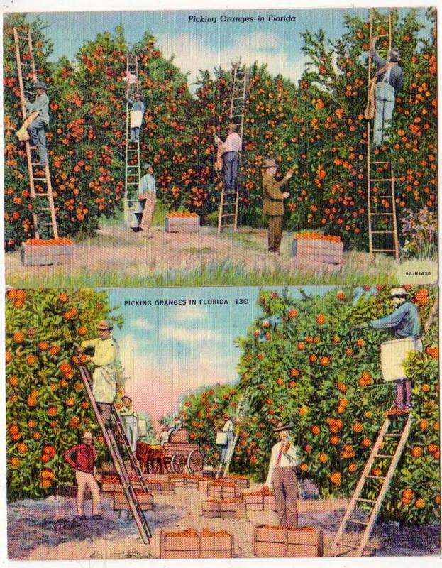 2 - Picking Oranges, Fla