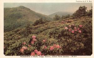 Western NC, Rhododendron in Bloom, Craggy Gardens, Vintage Postcard g791