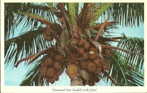 Coconut Tree Ripe with Fruit Florida Postcard