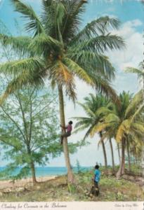 Bahamas Natives Climbing For Coconuts