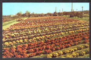 Garden Mums by Pashchke,North East,PA Nursery