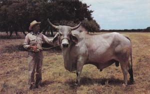 BRAHMAN BULL, Cherolaise and Charbray Cattle, Texas, 40-60s