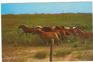 Wild Ponies on National Park Range, Ocracoke Island, North Carolina, 50-70