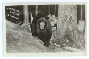RP A BEAR AT WHITEFISH FALLS ONTARIO ON CANADA 1951