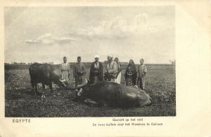 egypt, CALIOUB, Two Buffaloes for the Orphanage (1910s) Mission