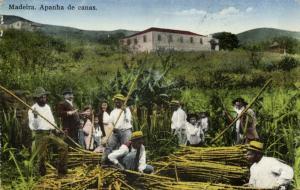 portugal, MADEIRA, Apanha de Canas, Sugar Cane (1910s) Postcard