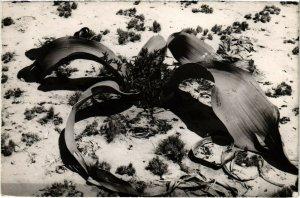 PC CPA ANGOLA / PORTUGAL, WELWITCHIA MIRABILIS, Vintage Postcard (b21628)