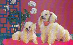 Dogs Purebred Toy Poodles