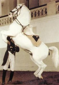 Courbette On The Short Hand Rein Spanish Riding School Of Vienna Postcard