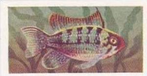 Pukka Tea Vintage Trade Card Aquarium Fish 1961 No 19 Apistogramma Ramirezi