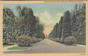 Florida Avenue Of Australian Pine Trees and Hibiscus Curteich