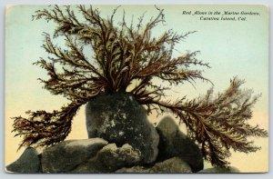Santa Catalina Island CA~Marine Gardens~Red Aloae~Saw This on Seal Island~1911