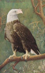 New York City Zoological Park American White Headed Or Bald Eagle