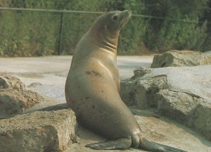 Seal Sealife at Chessington Zoo Surrey 1980s Postcard